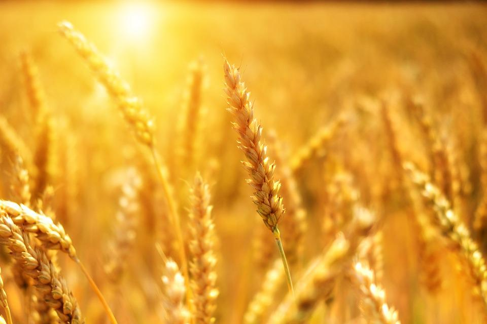 Wheat, Grain, Cornfield, Cereals, Sun, Sunshine