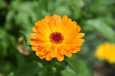 Souci, Fleur, Jardin, Plantes, Jaune