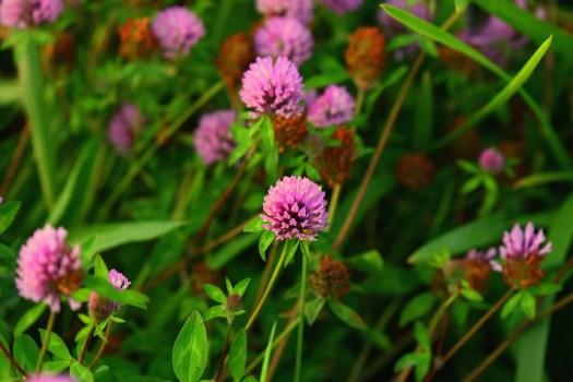 Trifoglio, Rosa Clover, Fiore, Impianto, Trefolium