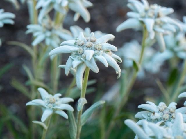 「エーデルワイスの花 無料写真」の画像検索結果