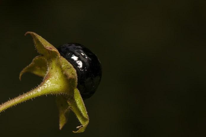 Resultado de imagen para belladona