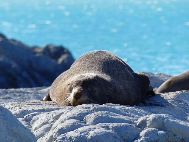 Robbe, Seal, Sea Lion, Sea, Ocean, New Zealand, Water