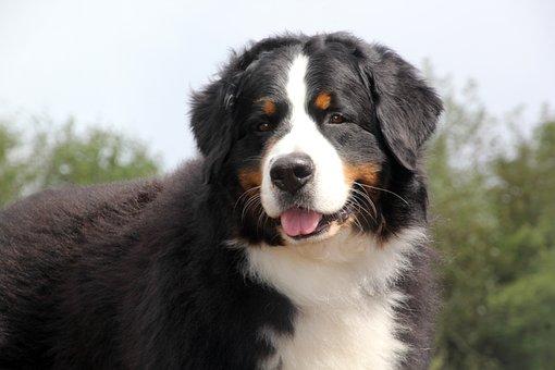 Malvorlage Berner Sennenhund Kinder Ausmalbilder