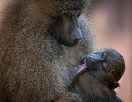 Babouin, Singe, Des Animaux, Zoo, Nature