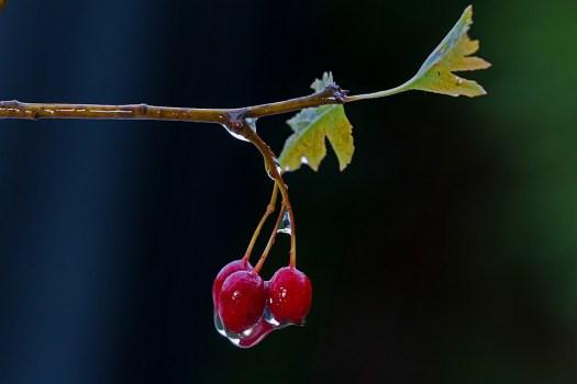 Weißdorn, Frutta, Bagnato, Bacche Di Biancospino