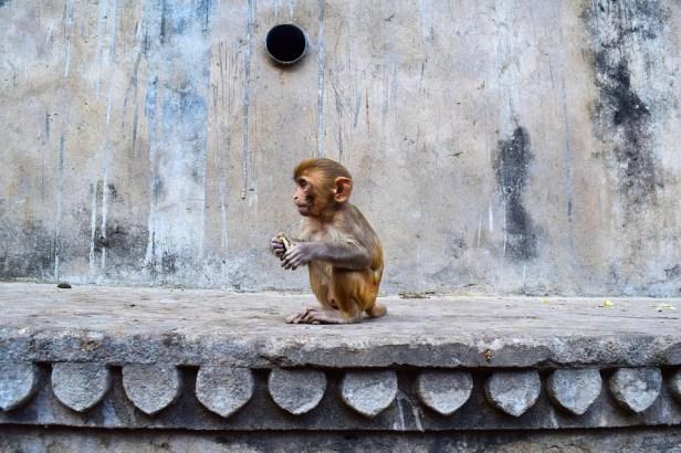 Jaipur, India, Monkey, Temple, Animal, World