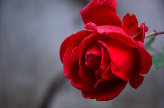 Rose, Fiore, Bloom, Impianto, Fiore Rosa, Red, Autunno