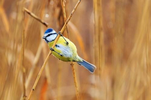 Mésange, Mésange Bleue, Bird, Songbird, Nature