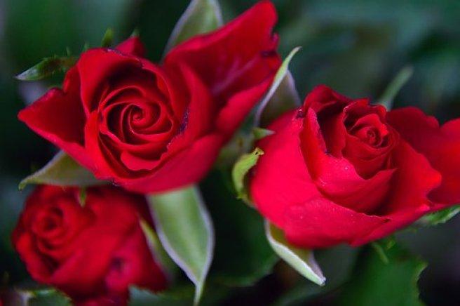 Rose, Rose Petals, Red Rose, Romantic
