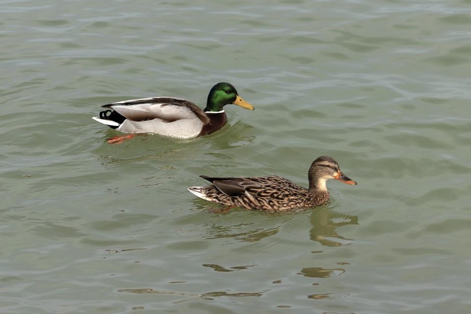 mallard duck teal wild