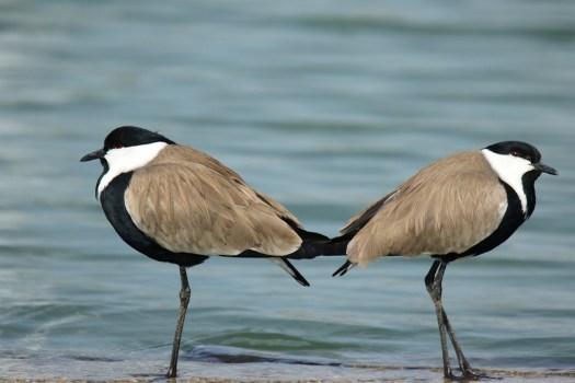 Uccelli, Sperone Alato Giro Alato, Lago, Natura