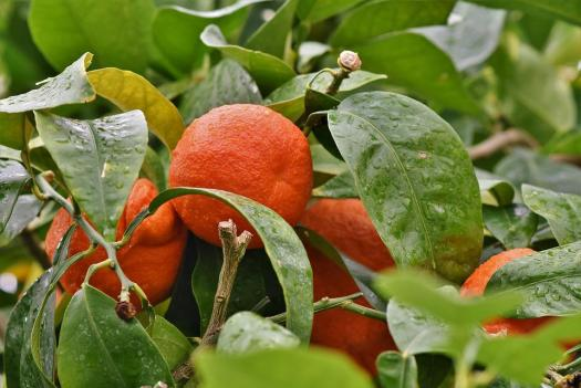 Arancione, Orange, Orange Tree, Agrumi, Frutta