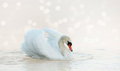 White, Nature, Water Bird, Water, Swan