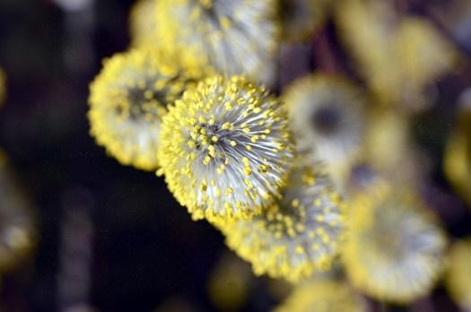 Salice, Famiglia Willow, Stami, Polline, Fiore