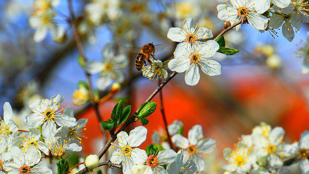 Honey Bee, Bee, Honey, Flowers, Spring