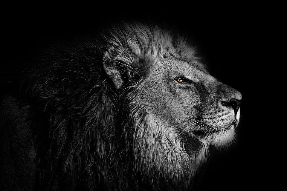 wallpaper background lion free