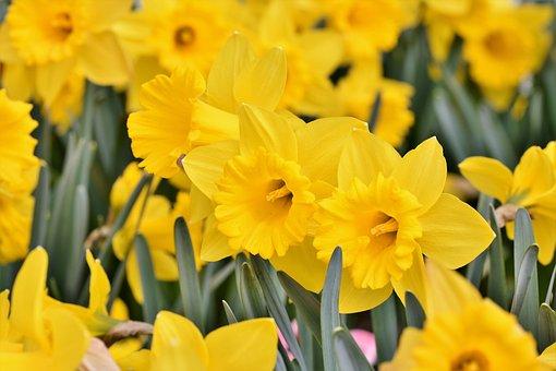 Narcisse, Fleur, Jaune