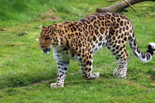 Leopardo Dell'Amur, Leopardo, Natura, Amur, Predator