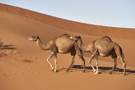 Dromedario, Cammello, Marocco, Sahara, Mammifero