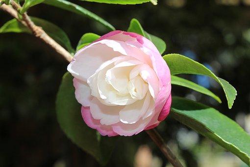 300 free camellia flower