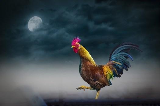 Animale, Notte, Luna, Sky, Gallo, Cloud