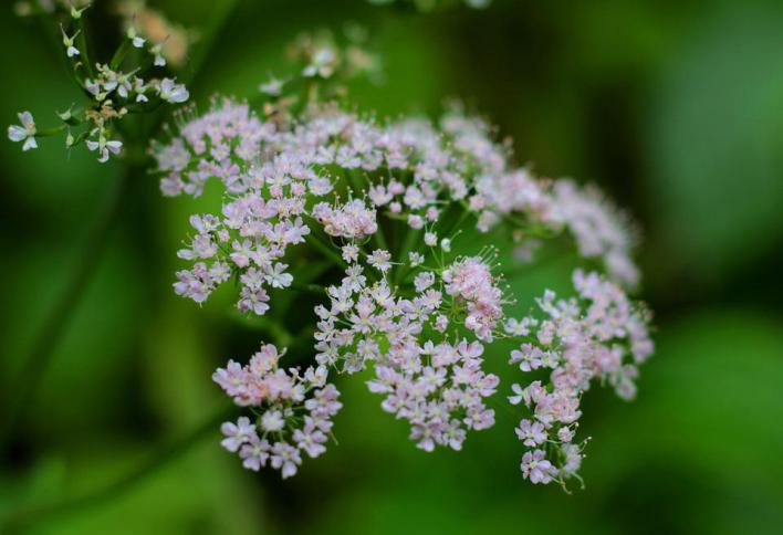 Valerian Officinalis Flower - Best Healing Herbs and Plants for Dogs and Cats