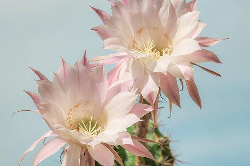Reine De La Nuit, Cactus, Fleur, Rose