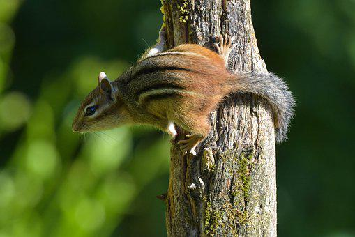 300 free chipmunk squirrel