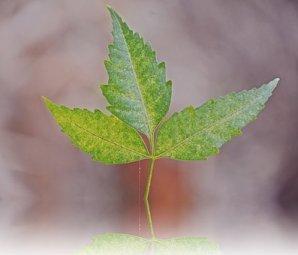 Indian, Neem Leaf, Nature, Tree, Organic