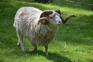 Ram, Nature, Animal, Meadow, Sheep, Wool, Grass