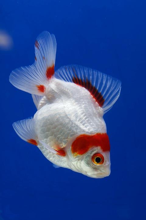 Ikan Mas Merah : merah, Merah, Gratis, Pixabay