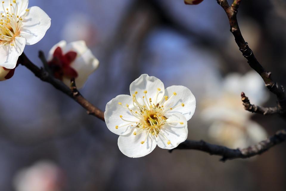 Flowers, Spring Flowers, Plum, Plum Blossoms, Spring