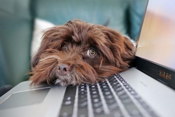 Dog, Containment, Telework, Bichon, Havanese, Cute