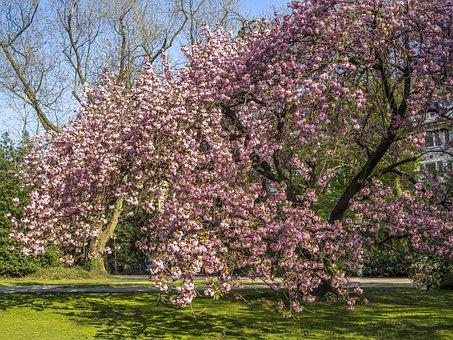 Tree, Cherry Tree, Spring