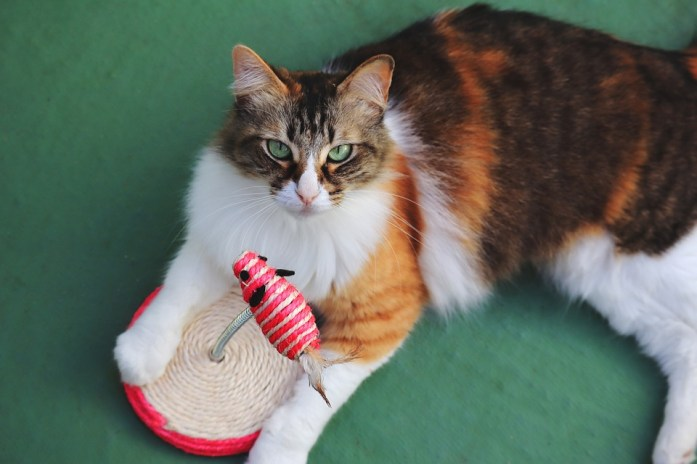 Cat, Cute, Pet, Orange, White, Black, Tricolor