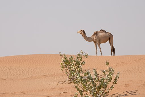 camel-rides-dubai-safari