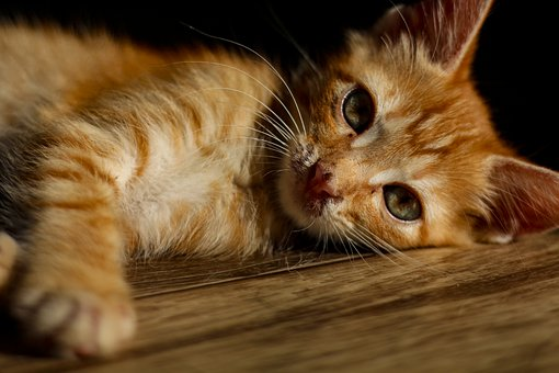 Кот, Katt, Pet, Felint, Kattunge, Morris