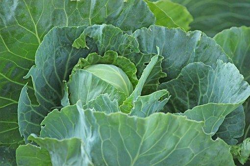 กะหล่ำปลี, ผัก, อาหาร, มีสุขภาพดี