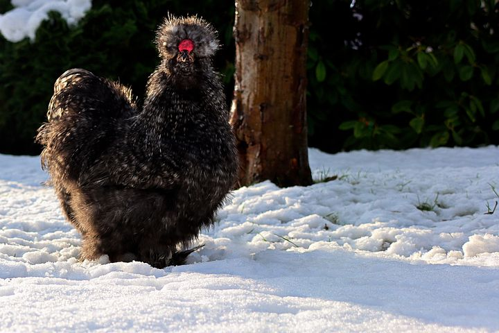 best cold hardy chicken breed