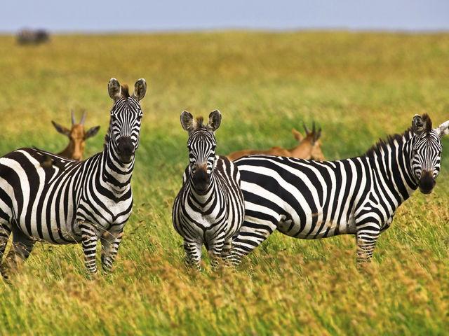 Um grupo de zebras é chamado de...
