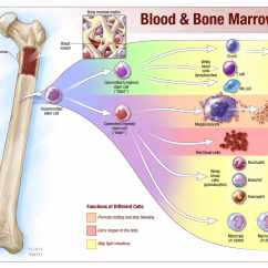 Bone Marrow Cell Diagram Jeep Wrangler Wiring Tuesday Q And A Numerous Conditions Can Lead To Low White