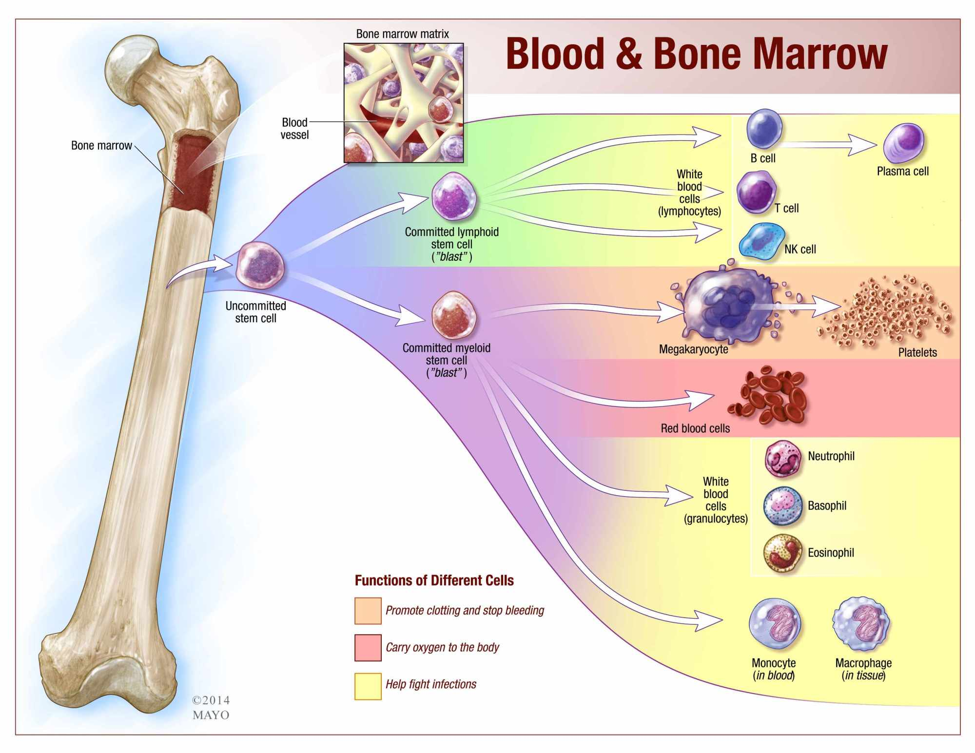 hight resolution of blood and bone marrow illustration