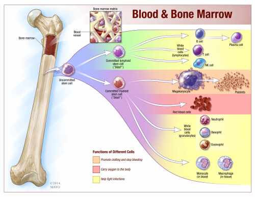 small resolution of blood and bone marrow illustration