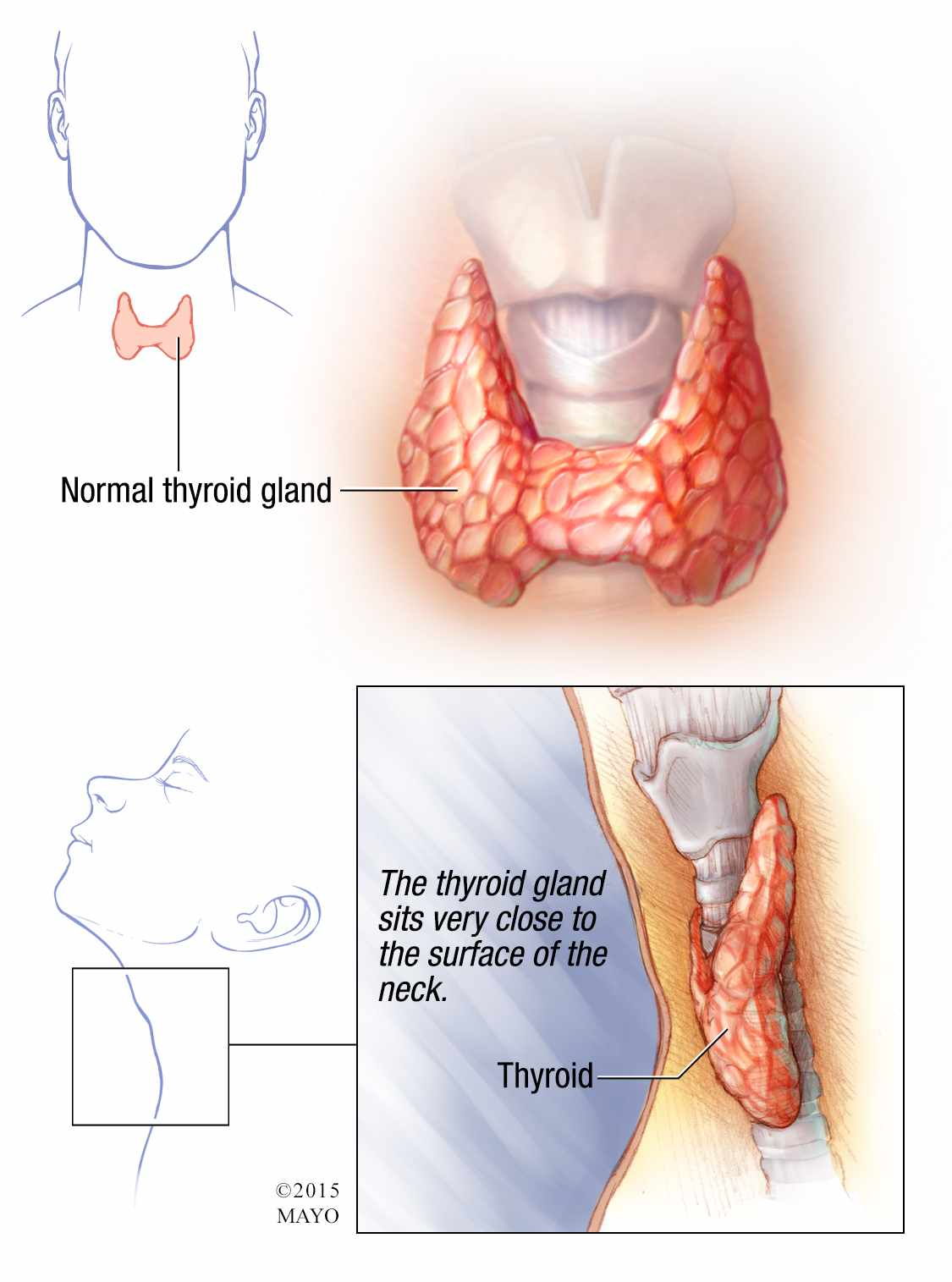 hight resolution of illustration of normal thyroid gland
