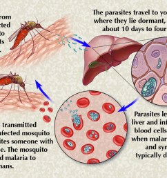 the way malaria passes from mosquitoes to people and from people back to mosquitoes is complicated and kind of nifty an uninfected mosquito gets infected  [ 1280 x 922 Pixel ]