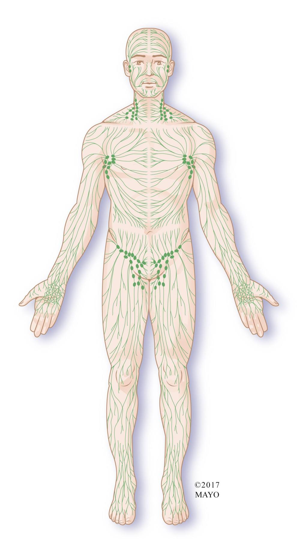 medium resolution of lymph node system