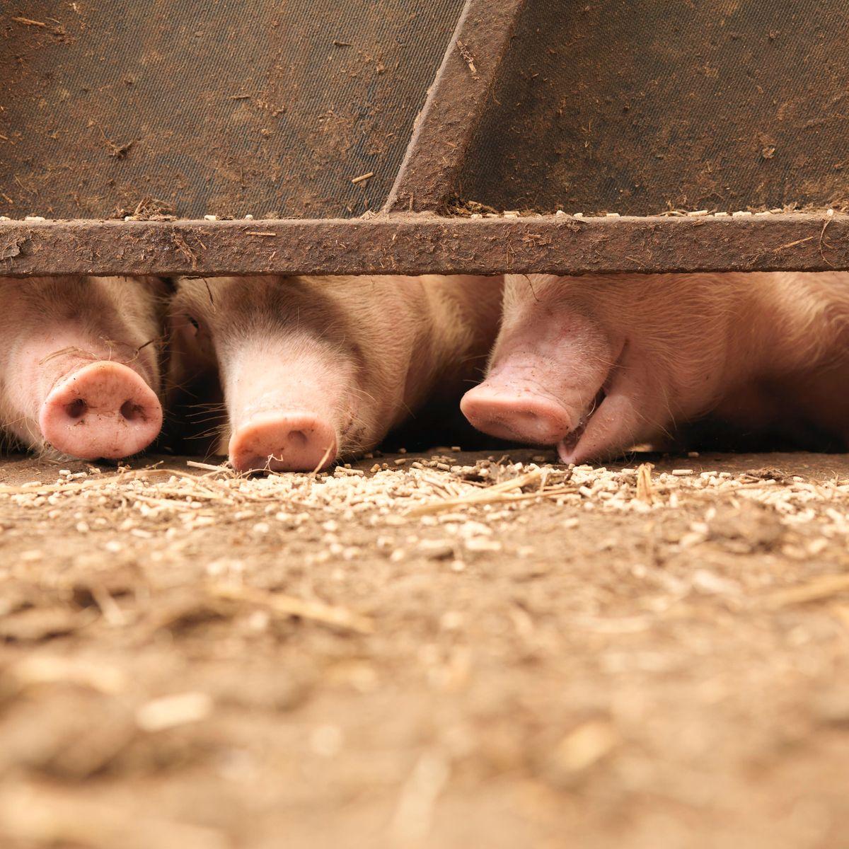 https www spiegel de wissenschaft mensch schweine im toennies skandal bestellt aber nicht abgeholt a 5cca3be3 4669 4bf1 b31a 6029a755573e