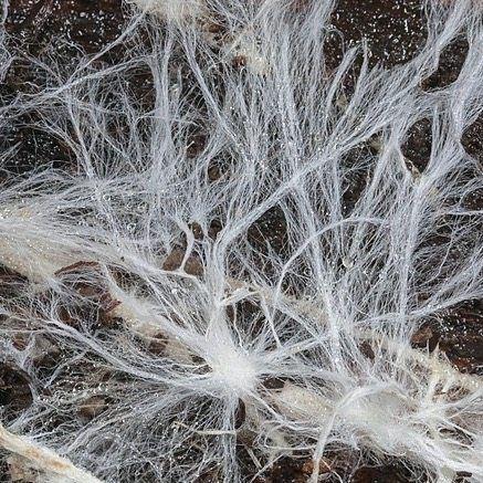Mycelium on rotting wood