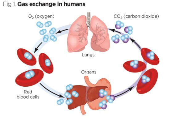 fig 1 gas exchange in humans
