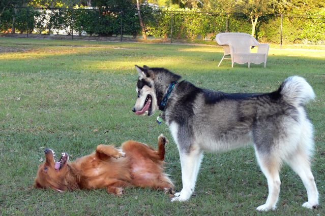 Rollovers Do Not Always Mean a Dog Is Afraid or Submissive